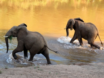 Kruger elephants, South Africa