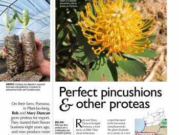 Perfect pincushions & other proteas