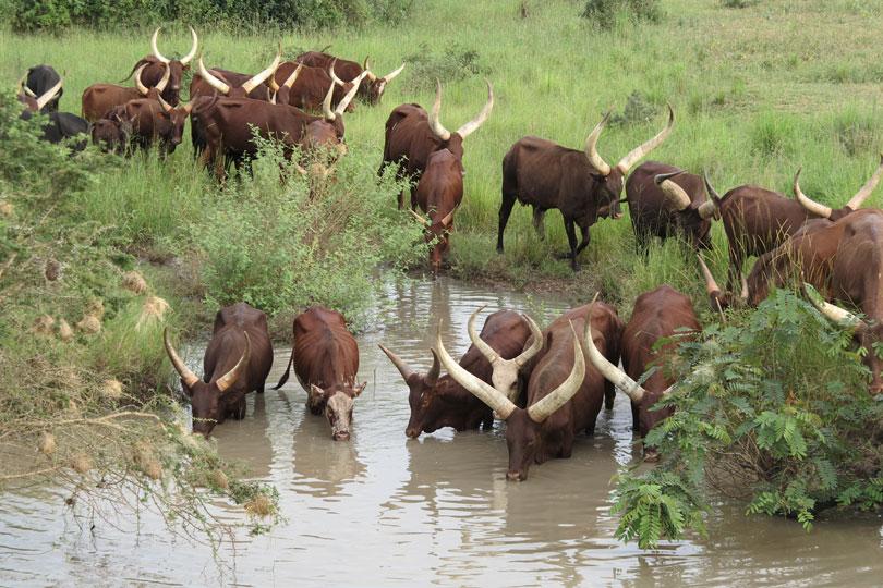 Ankole longhorn cattle