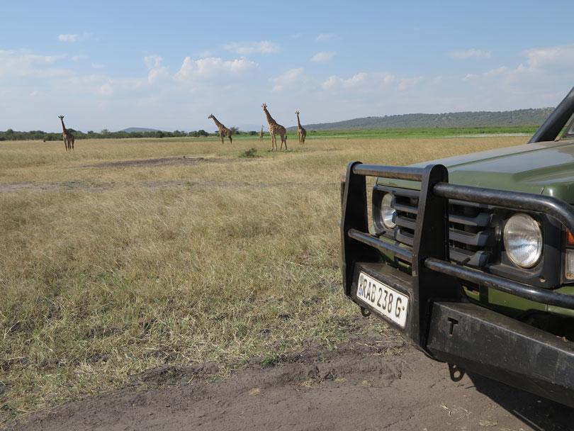 Maasai giraffe, Akagera
