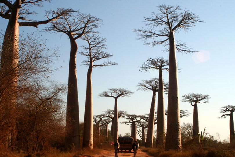 Madagascar's Avenue of Baobabs