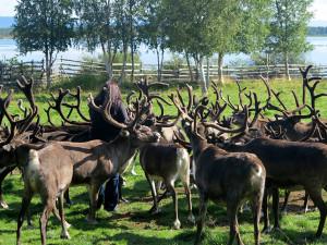 Tame reindeer